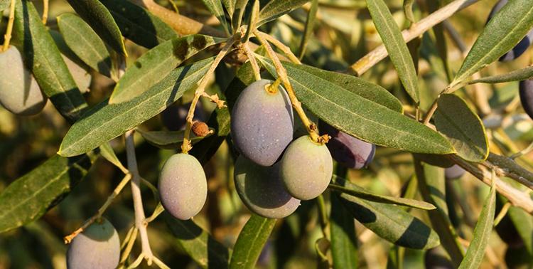 Оливки растут