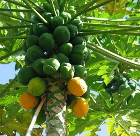Растущая папайа