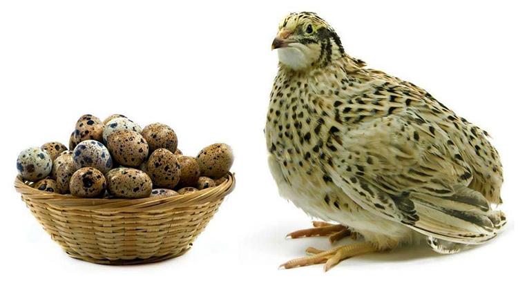 Перепел и яйца