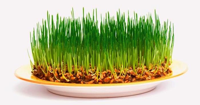 Как выглядит пророщенная пшеница