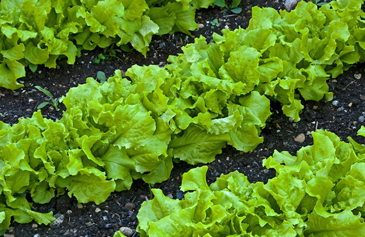 Растущий салат