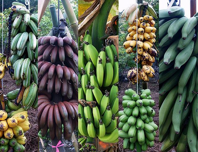 Сорта бананов