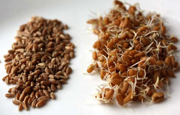 Зерна и ростки пшеницы