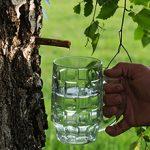 Березовый сок — польза и вред