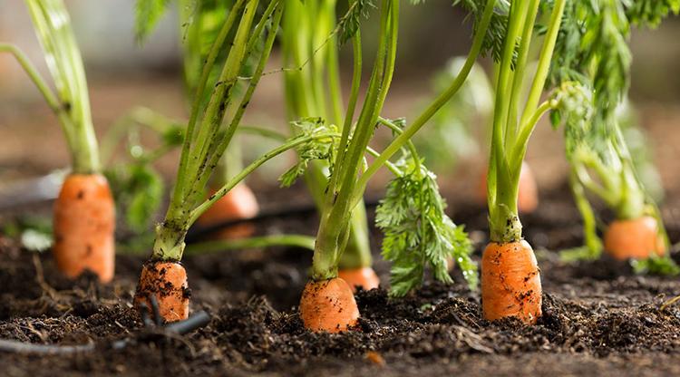 Морковь растет