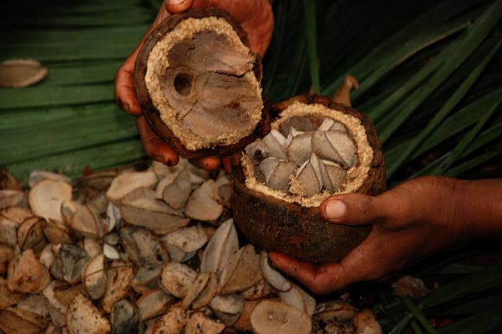 Сбор бразильского ореха