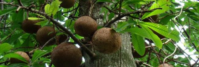 Бразильский орех растет