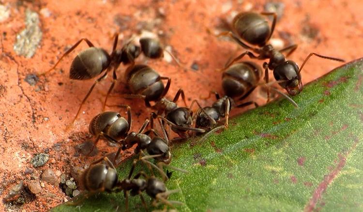 Черные садовые муравьи