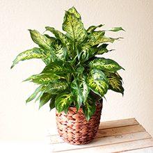 Цветок диффенбахия: польза и возможный вред