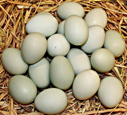 Свежие утиные яйца