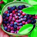 Ирга: польза и вред для здоровья