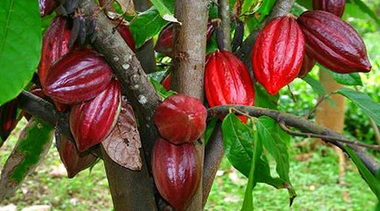 Какао растет