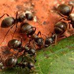 Садовые муравьи: чем полезны и возможный вред