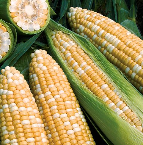 Недоспелая кукуруза