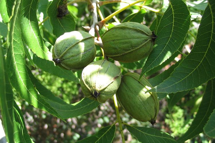 Дерево с орехами пекан