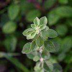 Трава пол-пала: польза и вред