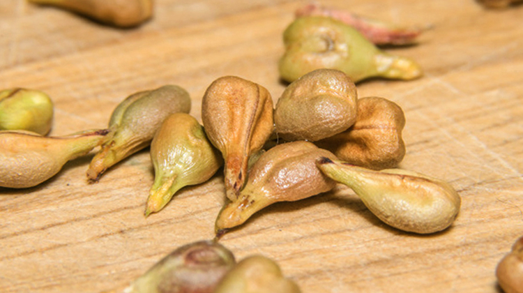 Свежие семена