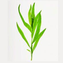 Трава тархун — чем полезна и чем вредна