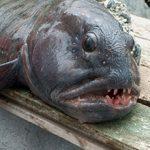 Рыба зубатка: польза и возможный вред