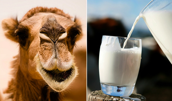 Верблюд и молоко