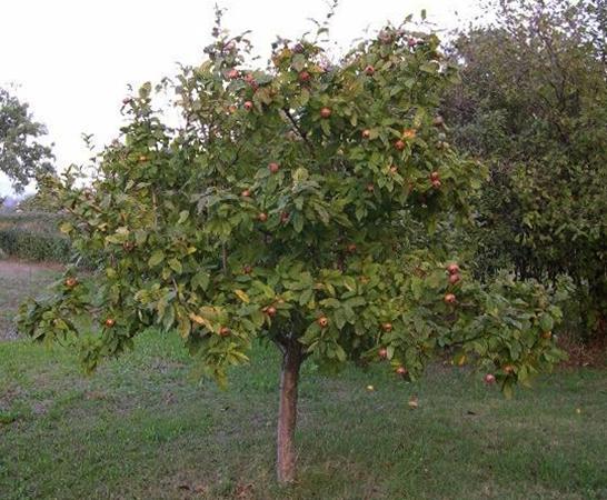 Дерево германского вида