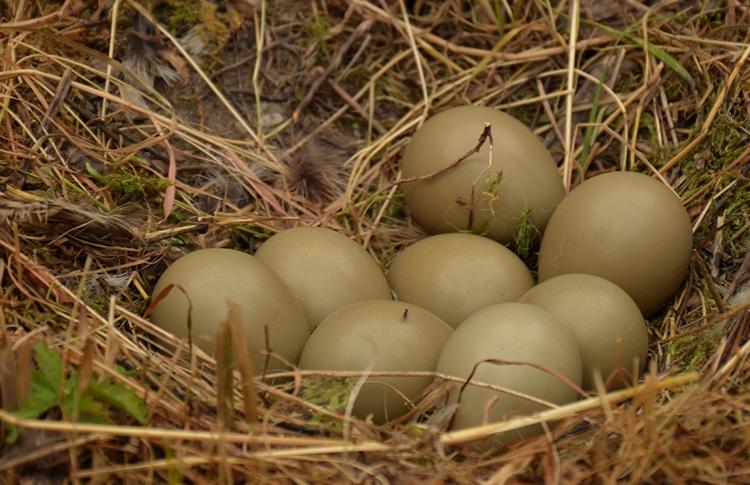 Яйца фазана