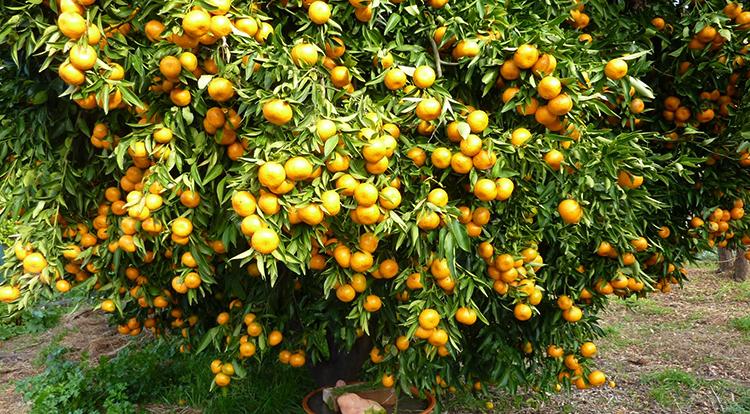 Грейпфрут растет