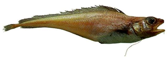Рыба лемонема