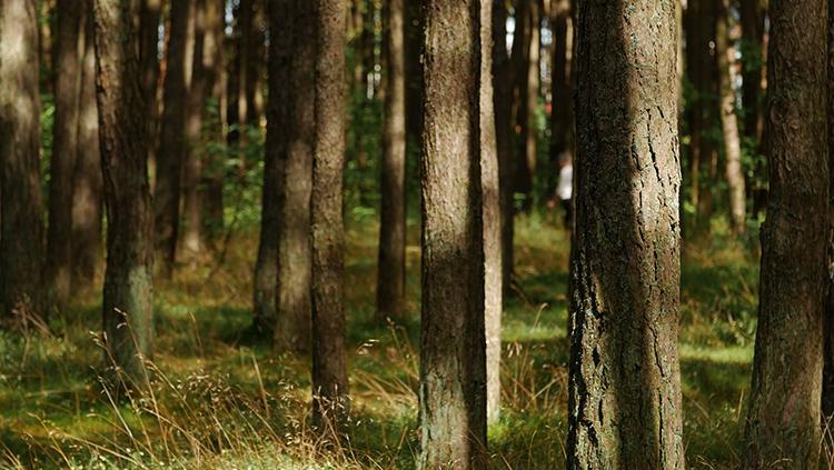 Лес из сосен