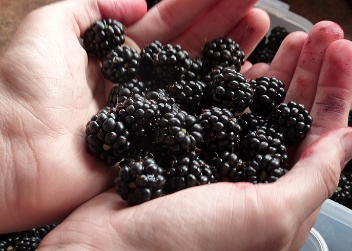 Черная малина в руках