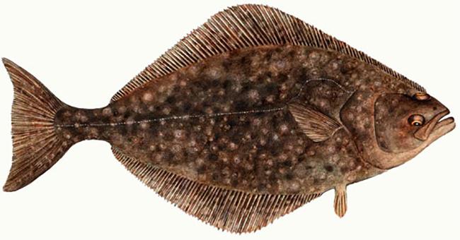 Рыба Палтус