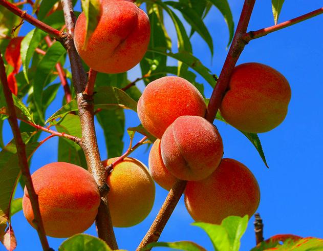 Персики растут