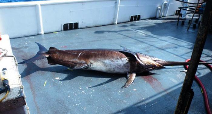 Пойманная рыба-меч