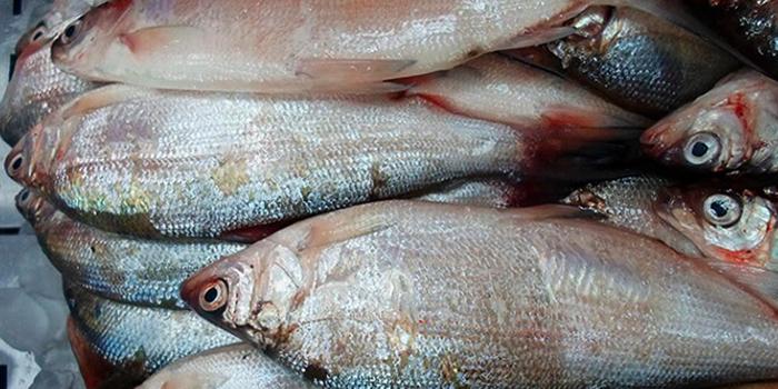 Речная рыба сырок