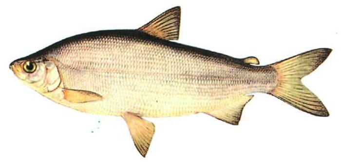 Рыба сырок
