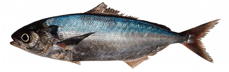 Рыба саворин