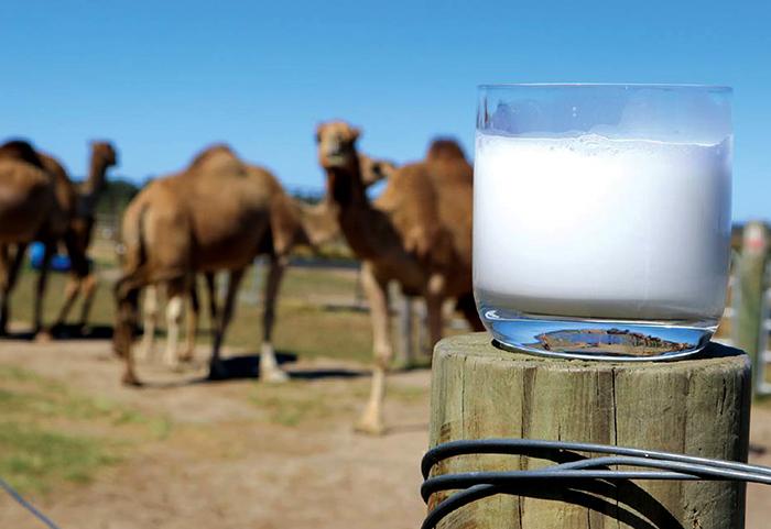 Стакан молока и верблюд