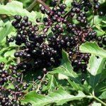 Черная бузина — польза и вред