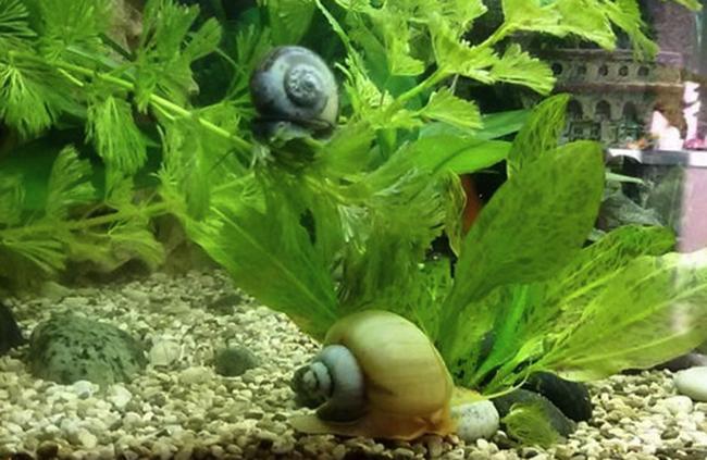 Улитки живущие в аквариуме