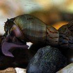 Улитка мелания в аквариуме — возможные вред или польза
