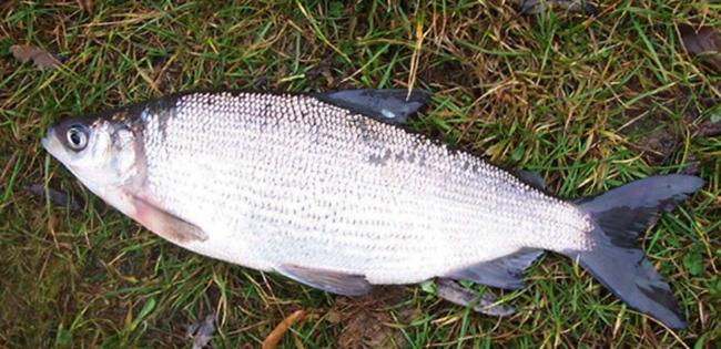 Выловленная рыба сырок