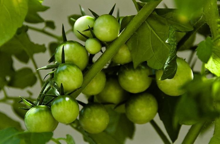 Зеленые помидоры растут