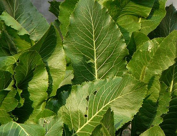 Много листьев хрена