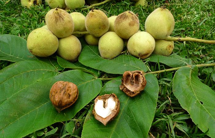 Маньчжурские орехи на земле