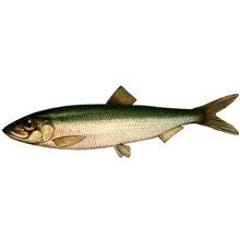 Рыба салака: польза и вред для организма