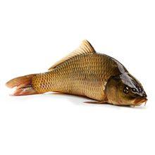 Рыба сазан — польза и вред для здоровья