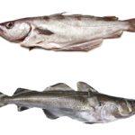 Какая рыба полезнее минтай или треска?