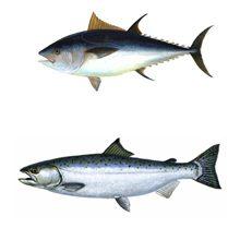 Какая рыба полезнее тунец или лосось?