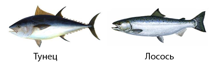 Тунец и лосось