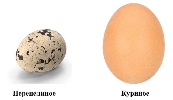 Перепелиное и куриное яйцо